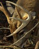whitetail оленей самеца оленя просматривать Стоковые Изображения RF