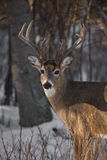whitetail оленей самеца оленя Стоковые Изображения