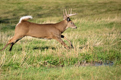whitetail оленей самеца оленя Стоковое фото RF