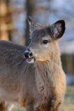 whitetail портрета оленей Стоковые Изображения