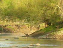 whitetail потока Стоковые Изображения