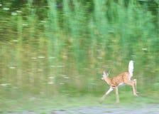 whitetail пыжика оленей Стоковые Фотографии RF