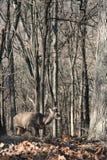 whitetail самеца оленя Стоковые Фотографии RF