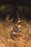 whitetail травы самеца оленя высокорослый Стоковое Изображение
