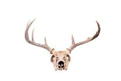 whitetail черепа самеца оленя Стоковая Фотография