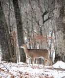 Whitetail Royalty Free Stock Images