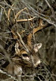 whitetail портрета самеца оленя щетки Стоковые Изображения