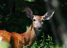 Whitetail Royalty Free Stock Photo