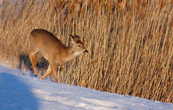 Whitetail Stock Image