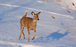 Whitetail Royalty Free Stock Photography