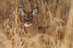 Whitetail Royalty Free Stock Photos