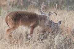 Самец оленя Whitetail прикалывая вниз лань в жаре Стоковые Изображения