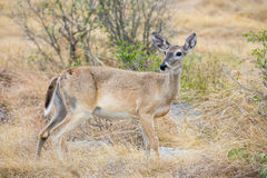 whitetail Foto de Stock Royalty Free
