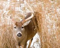whitetail оленей самеца оленя Стоковые Фото