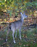 Whitetail in autumn. A buck that's at a forest edge in fall royalty free stock photos