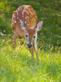 Whitetail baby Royalty Free Stock Photography