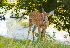 Whitetail baby Stock Images