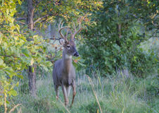 Whitetail Buck που ελέγχει τα πράγματα έξω Στοκ εικόνα με δικαίωμα ελεύθερης χρήσης