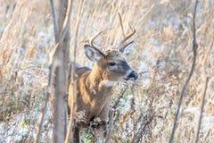 Whitetail buck στη δασώδη περιοχή στοκ εικόνα
