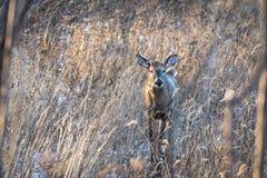Whitetail buck στις χλόες στοκ φωτογραφίες