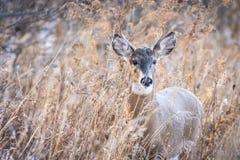 Whitetail buck στις χλόες στοκ εικόνες με δικαίωμα ελεύθερης χρήσης