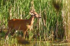 Whitetail buck στο βελούδο στο έλος Στοκ Εικόνες
