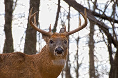 Whitetail buck Royalty Free Stock Image
