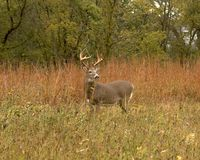 Whitetail Buck. Whitetail deer buck in a meadow Royalty Free Stock Photos