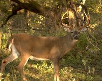 Whitetail Buck. Whitetail deer buck in the woods Stock Photos