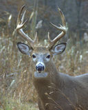 Whitetail Buck. Close-up of a whitetail buck in the woods Stock Photography
