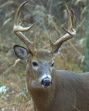 Whitetail Buck Royalty Free Stock Images