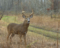 Whitetail Buck. A whitetail buck in the woods Stock Photography