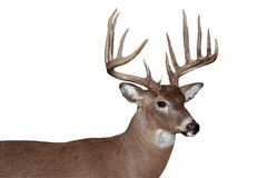 Whitetail buck. Trophy whitetail buck isolated with clipping path at this size Stock Image