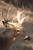 Whitetail buck. Royalty Free Stock Photography