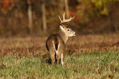 Whitetail Buck Stock Photography