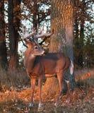 Whitetail buck Stock Photo