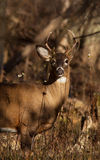 Whitetail buck Stock Photography