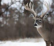 Whitetail buck Στοκ Εικόνες