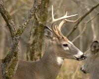 Whitetail Buck. Young whitetail deer buck Stock Photos