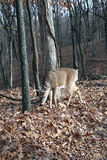Whitetail buck. Deer nature forest stock image