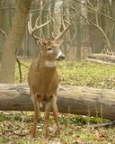 Whitetail Buck 9 stock photography