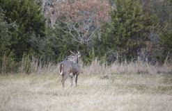 Whitetail Buck Analyzes his Surroundings stock photos