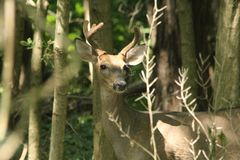 A  whitetail buck with antlers in velvet in the early summer. stock photos