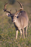 Whitetail Buck Browsing in Field Royalty Free Stock Photos