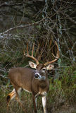 Whitetail Buck in Brush Stock Images