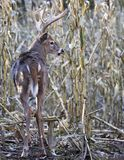 Whitetail buck in corn field royalty free stock photography