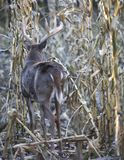 Whitetail buck in corn field royalty free stock photos