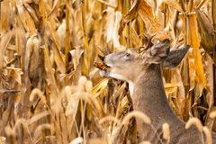 Whitetail Buck In Cornfield. A whitetail buck eating corn in a cornfield royalty free stock image