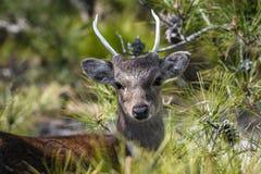 Whitetail Buck Deer fotografia stock libera da diritti