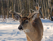 Whitetail Buck Deer Royalty Free Stock Photo
